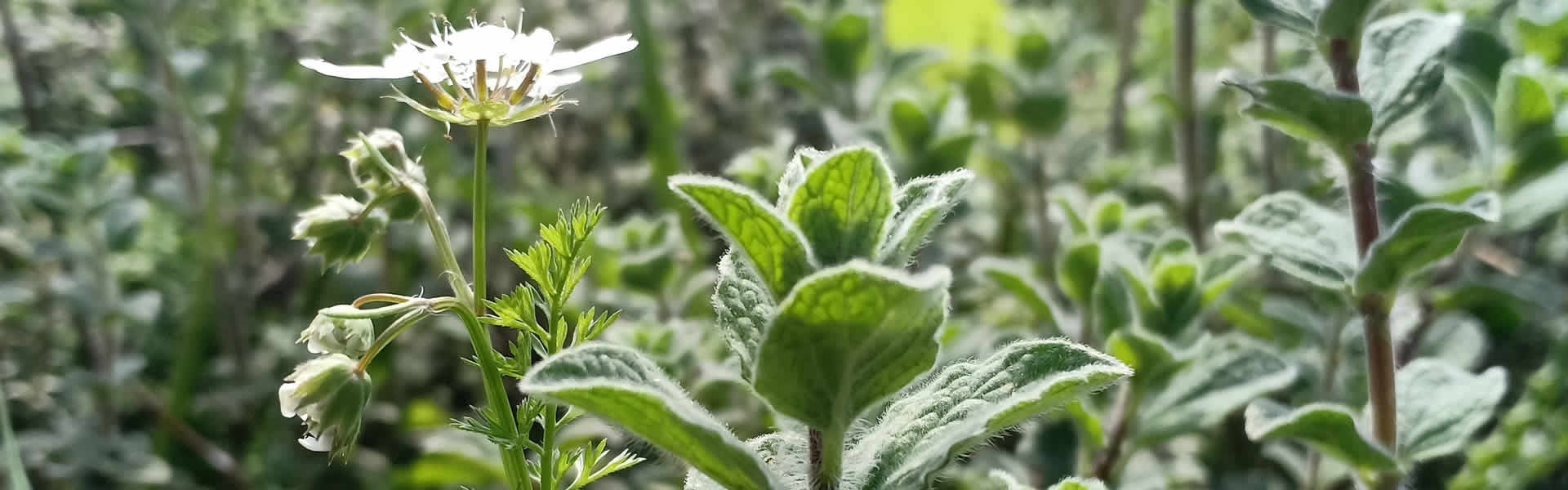 How to Use Oregano to Improve Your Home Health with Dr. Cass Ingram